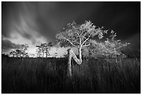 Z tree, sawgrass, and cypress at night. Everglades National Park ( black and white)