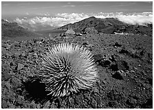 Silversword plant and Clouds, Haleakala crater. Haleakala National Park, Hawaii, USA. (black and white)