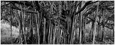 Giant Banyan tree. Haleakala National Park (Panoramic black and white)