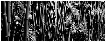 Bamboo grove. Haleakala National Park (Panoramic black and white)