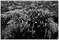 Ohelo (Vaccinium reticulatum). Haleakala National Park, Hawaii, USA. (black and white)