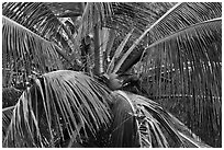 Coconot tree and fruits. Haleakala National Park ( black and white)