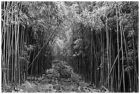 Trail through bamboo canopy. Haleakala National Park, Hawaii, USA. (black and white)