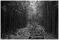 Trail through bamboo forest. Haleakala National Park, Hawaii, USA. (black and white)