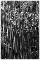 Bamboo stems and leaves. Haleakala National Park, Hawaii, USA. (black and white)