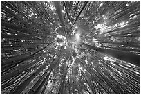 Looking up bamboo forest. Haleakala National Park, Hawaii, USA. (black and white)