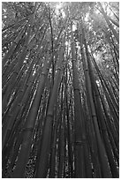 Looking up dense bamboo grove. Haleakala National Park, Hawaii, USA. (black and white)