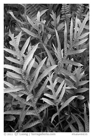 Maile-Scented Fern (Phymatosorus scolopendria). Haleakala National Park (black and white)