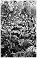 Lush tropical ferms near Thurston lava tube. Hawaii Volcanoes National Park, Hawaii, USA. (black and white)