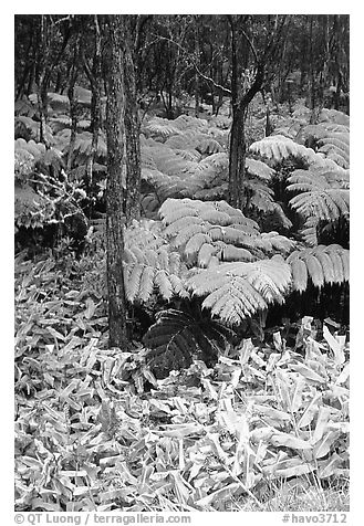 Hawaiian rain forest ferns and trees. Hawaii Volcanoes National Park (black and white)
