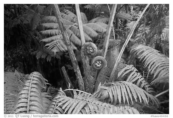 Hapuu tree ferns with crozier fronds. Hawaii Volcanoes National Park, Hawaii, USA.