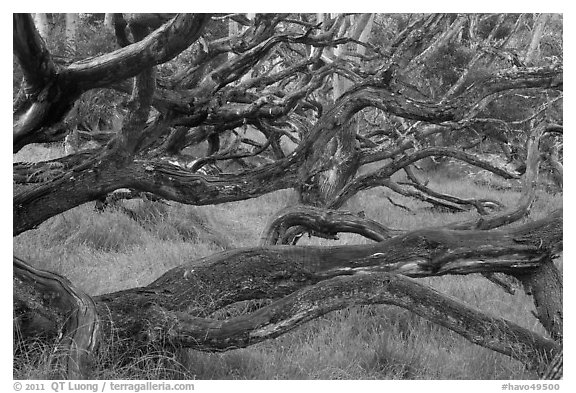Forest of koa trees. Hawaii Volcanoes National Park (black and white)