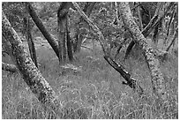 Dryland forest along Mauna Load Road. Hawaii Volcanoes National Park ( black and white)
