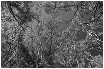 Looking up forest of koa trees. Hawaii Volcanoes National Park ( black and white)