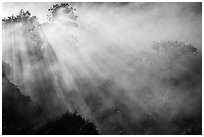 Trees and sunrays in volcanic steam. Hawaii Volcanoes National Park, Hawaii, USA. (black and white)
