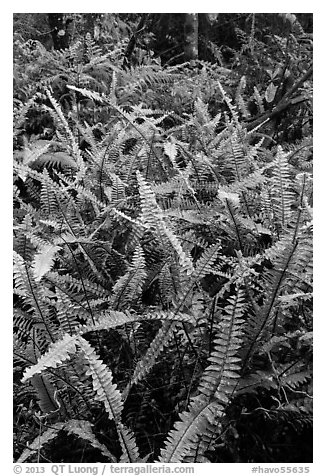 Ferns, Kīpukapuaulu. Hawaii Volcanoes National Park (black and white)
