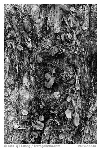 Tree trunk bark and fallen leaves, Kīpukapuaulu. Hawaii Volcanoes National Park (black and white)
