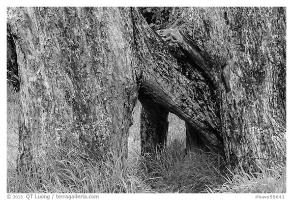 Base of Ohia tree with multiple trunks. Hawaii Volcanoes National Park (black and white)
