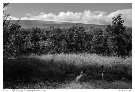 Nene birds and Mauna Loa. Hawaii Volcanoes National Park (black and white)