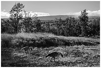 Nenes and Mauna Loa. Hawaii Volcanoes National Park, Hawaii, USA. (black and white)
