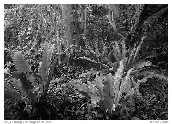 Paleotropical rainforest floor near Saua, Tau Island. National Park of American Samoa