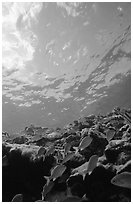 Fish over reef and bright surface. Virgin Islands National Park, US Virgin Islands. (black and white)