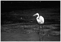Great white egret. Virgin Islands National Park, US Virgin Islands. (black and white)