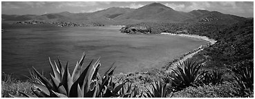 Agave plants growing on drier part of island. Virgin Islands National Park (Panoramic black and white)