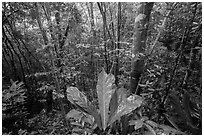 Moist sub-tropical forest, Reef Bay Valley. Virgin Islands National Park ( black and white)