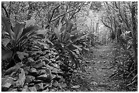 Trail and overgrown rock wall. Virgin Islands National Park ( black and white)