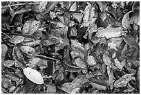 Ground close-up of fallen leaves. Virgin Islands National Park ( black and white)