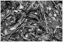 Ground close-up of fallen leaves and fruits. Virgin Islands National Park ( black and white)