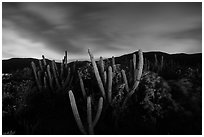 Cactus from Yawzi Point at night. Virgin Islands National Park ( black and white)