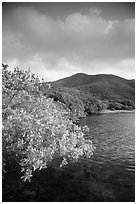 Shore tree, Great Lameshur Bay, and green hills. Virgin Islands National Park ( black and white)