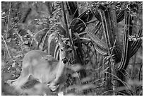 Deer and cactus, Yawzi Point. Virgin Islands National Park ( black and white)