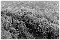 Cactus and green hillside, Yawzi Point. Virgin Islands National Park ( black and white)