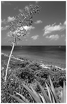 Agave and tall flower on Ram Head. Virgin Islands National Park ( black and white)