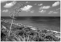 Centenial flower and ocean on Ram Head. Virgin Islands National Park ( black and white)