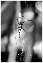Giant spider (Golden Orb). Australia (black and white)