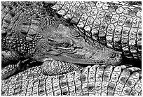 Crocodiles. Australia (black and white)