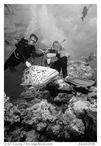 Scuba divers and huge potato cod fish. The Great Barrier Reef, Queensland, Australia (black and white)