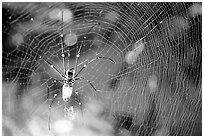 Golden Orb Spider and web. Australia (black and white)