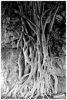 Banyan tree. Brisbane, Queensland, Australia ( black and white)