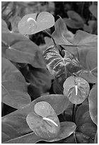 Red Anthurium Flowers. Big Island, Hawaii, USA (black and white)