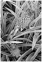 Red pinapple, Dole Planation. Oahu island, Hawaii, USA ( black and white)