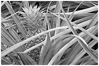 Pinapple,  Dole Planation. Oahu island, Hawaii, USA ( black and white)