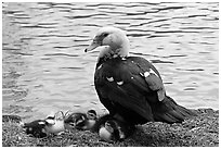 Duck and chicks, Byodo-In temple gardens. Oahu island, Hawaii, USA ( black and white)