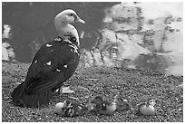 Duck and chicks, Byodo-In temple. Oahu island, Hawaii, USA ( black and white)