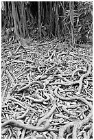 Roots of Banyan tree. Oahu island, Hawaii, USA ( black and white)