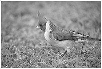 Bird with red head. Oahu island, Hawaii, USA ( black and white)
